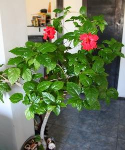 Trandafirache